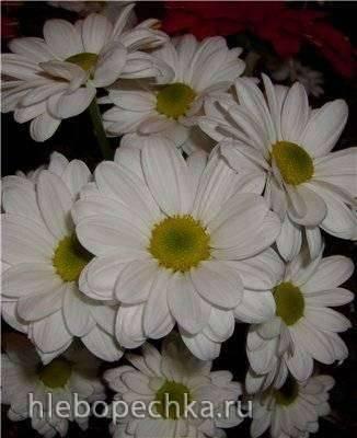 Ромашковые  хризантемы из мастики