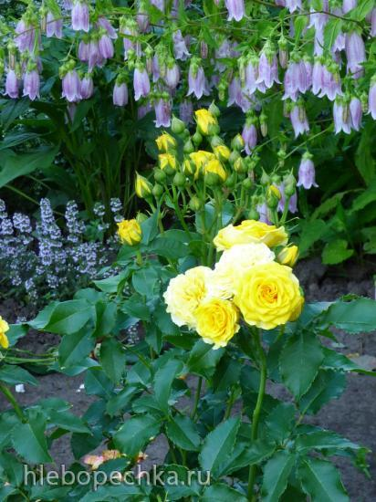 Цветы на моем участке (2020 г.)