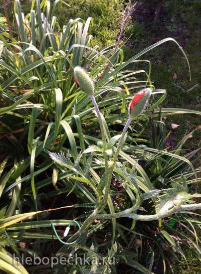 Где можно купить озимый семенной чеснок, районированный для Московской области?