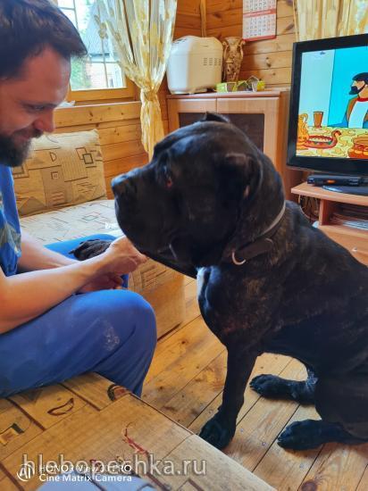 Чем лучше кормить крупную собаку породы кане-корсо (Cane corso italiano)?