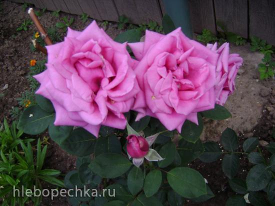 Как укоренить розы из букета?