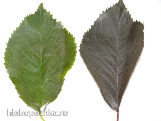 Метод закаливания листьев для чая при подготовке к ферментации