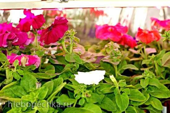 Цветы на моём участке