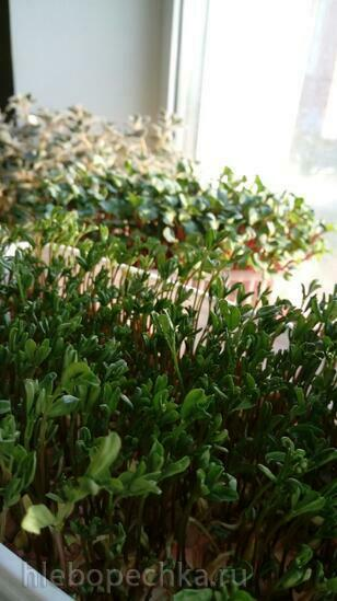 Ростки, проростки. Проращиватель семян, зерен, зелени
