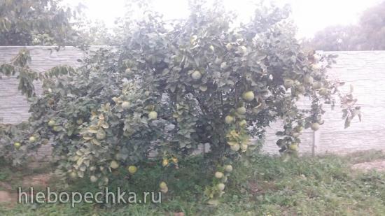 Варенье из айвы с лимоном и орехами