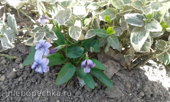 Цветы на моем участке (2019 г.)