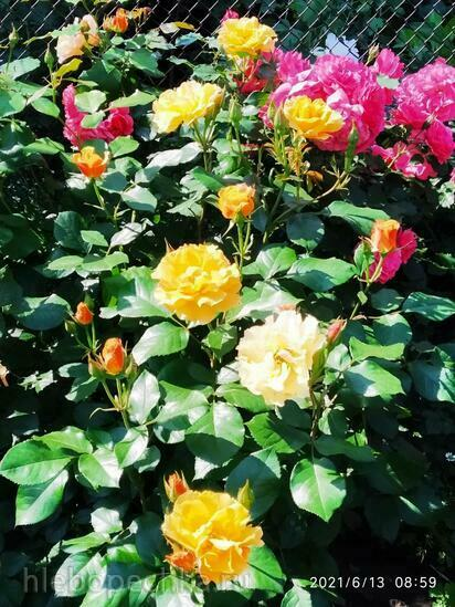 Цветы на моем участке (2021 г.)