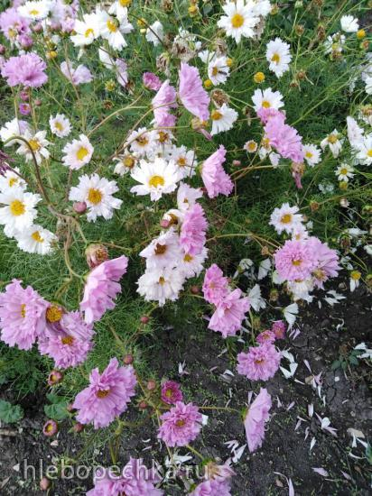 Цветы на моем участке (2018 г.)