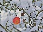Яблочная кожура для чая