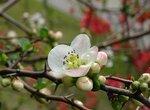 Как формировать и обрезать плодовые деревья при уплотненных посадках?