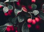 Как называется сорт мелкой вишни?