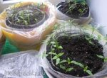 Интересный способ выращивания рассады