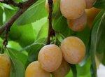 Почему слива сбрасывает плоды?