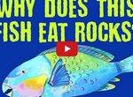 Рыба с большим клювом, которая ест камни и защищает коралловые рифы