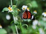 Как вы можете помочь спасти бабочку-монарх и всю планету