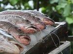 Значение рыбы в питании и её обработка