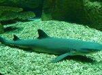 Рифовые акулы сокращаются быстрее, чем предполагалось ранее