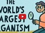 Осина Пандо - самый тяжелый организм на Земле