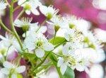 Как можно бороться с остатками вишни на участке?