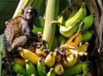 Нюансы сушки бананов
