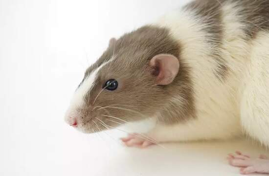 Усы крысы помогают в исследованиях того, как мы ощущаем текстуру