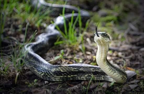 Использование змей для мониторинга радиации Фукусимы