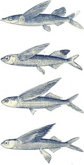 Распространение летучих рыб в Мировом океане