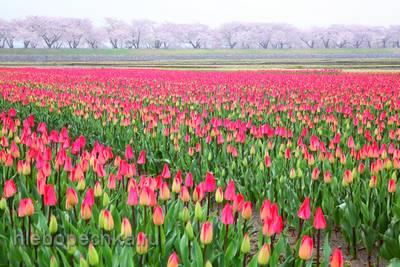 История выращивания тюльпанов
