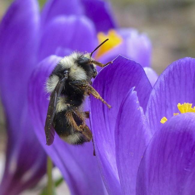 Сравнение шмелей и пчел