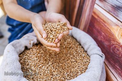 Из истории ветвистой пшеницы