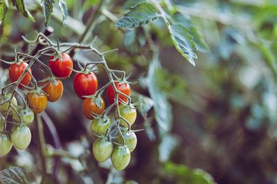 Эффективное выращивание томатов
