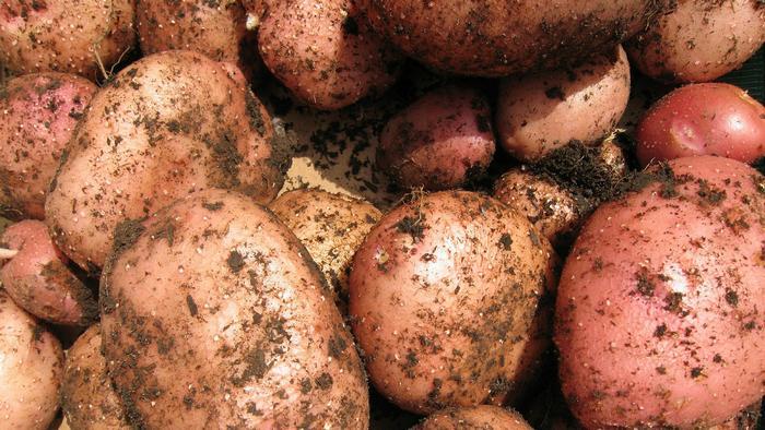 Как вырастить хороший картофель