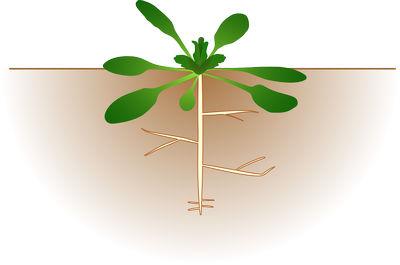 Корневое питание растений