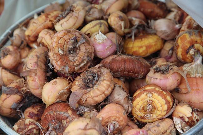 Почему болеют луковицы гладиолусов?