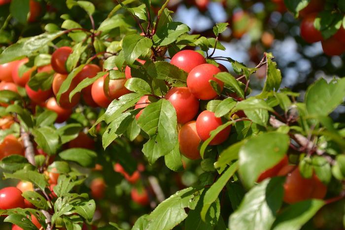 Пищевые растения и их целебные свойства