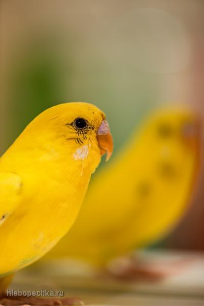 Уход за волнистым попугаем в квартире