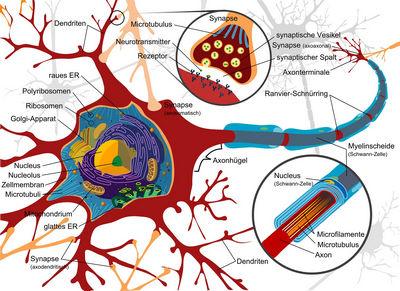 Нервная система и ее работа